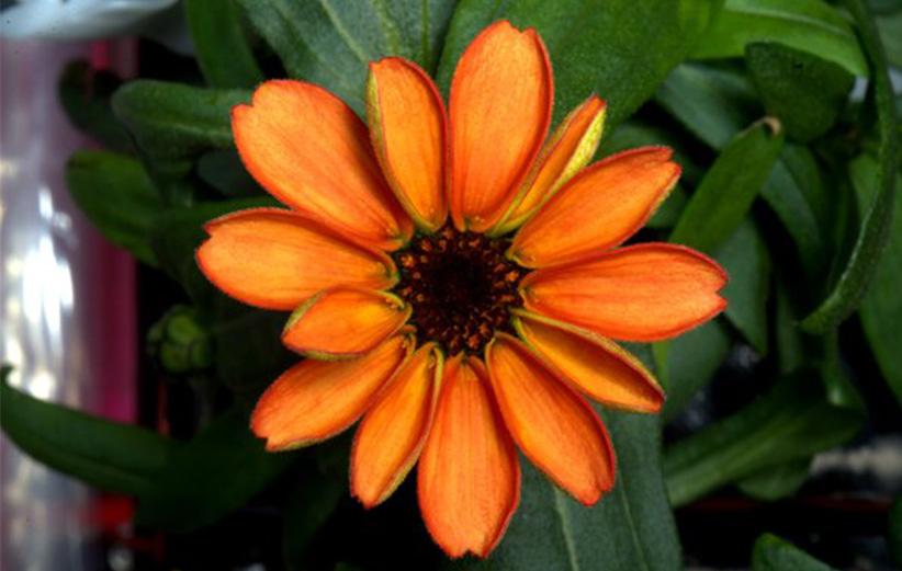 اولین گل در ایستگاه بین المللی فضایی رشد کرد